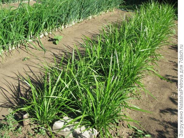 Отличное бордюрное растение. Фото с сайта http://www.legom.info/