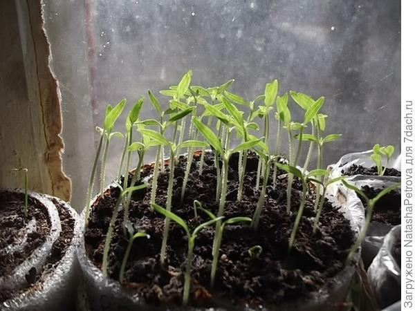 Рассада томатов в улитке