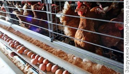Клеточное содержание кур
