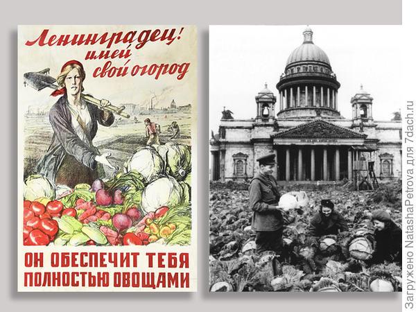 Ленинградец! Имей свой огород - он обеспечит тебя полностью овощами