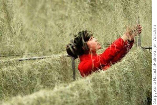 Занавески из тилландсии дизайнера Ли Фань. Фото с сайта http://svezduh.ru/