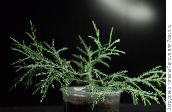 Саженец секвойядендрона. Фото с сайта https://4seed.jimdo.com