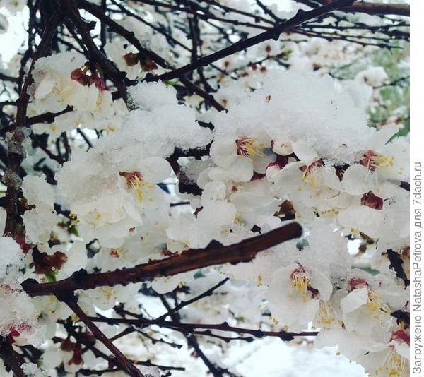 Цветущие абрикосы под снегом. Фото из журнала садовода Alla7777 из Харьковской области