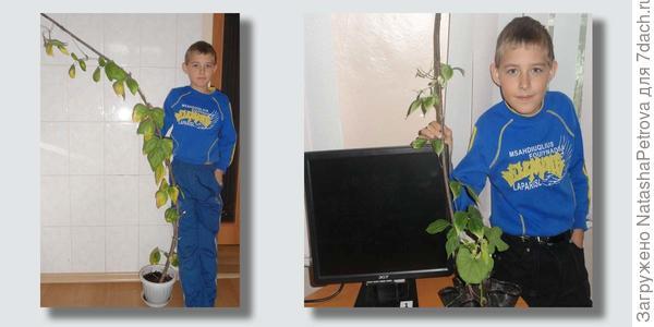Различие в темпах развития растений. Фото из исследовательской работы Григория Здобнова, ученика 5-го класса СОШ № 15 г. Находка