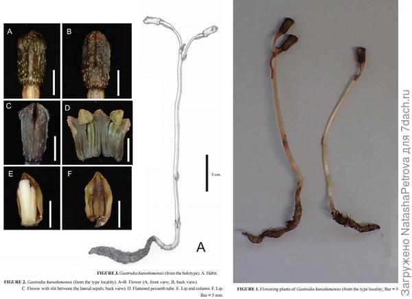 Gastrodia kuroshimensis. Фото с сайта http://solovejs.livejournal.com