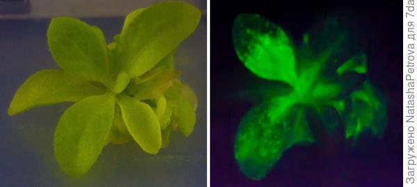 Starlight Avatar - светящееся растение табака. Фото с сайта bioglowtech.com