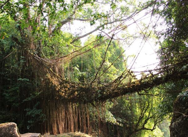 Корневой мост недалеко от индийского города Черапунджи. Фото с сайта livingrootbridges.com