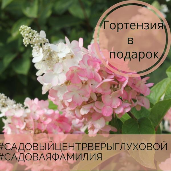 Гортензия в подарок обладателю садовой фамилии. Фото с сайта vk.com/club163437187