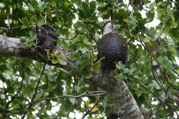 Дома муравьёв в домациях Squamellaria major. Фото с сайта myrmecodia.invisionzone.com