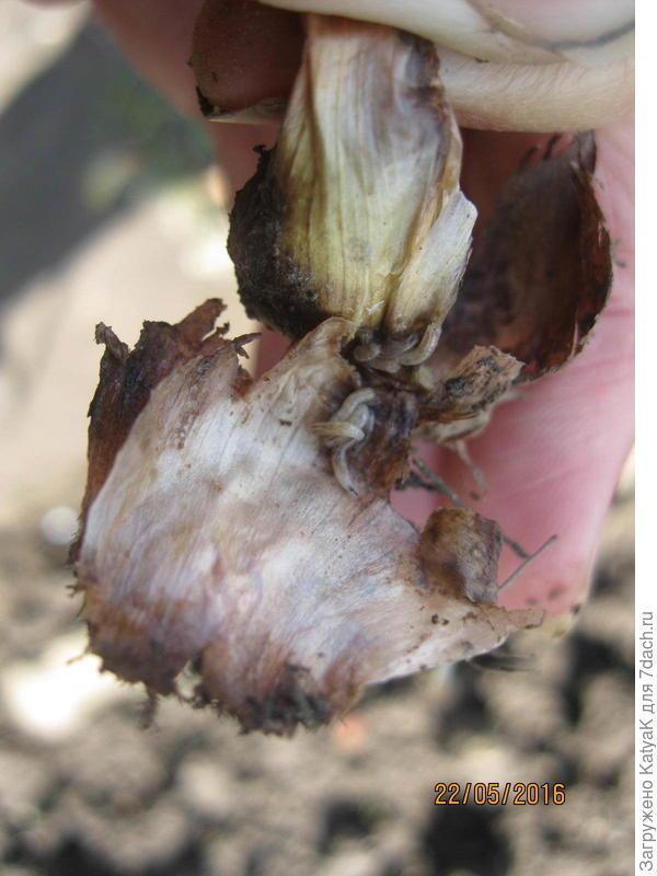 Вредитель луковичных цветов