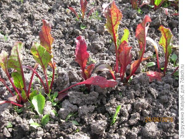свекла мелкие красные листья