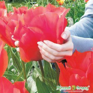 тюльпаны С Днем Победы