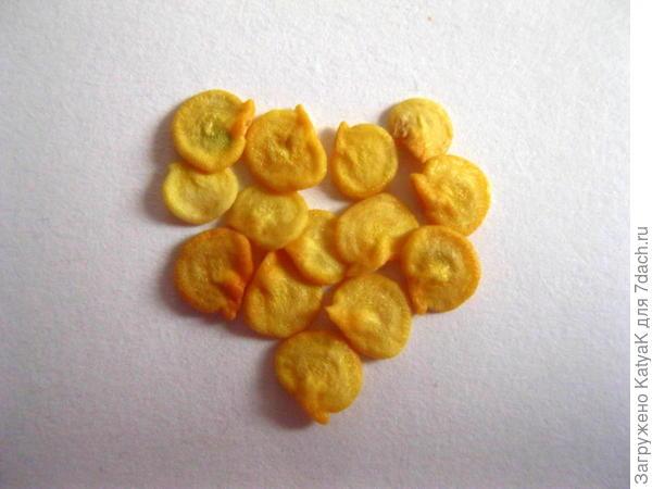 перец сладкий оранжевый лев. тест на всхожесть