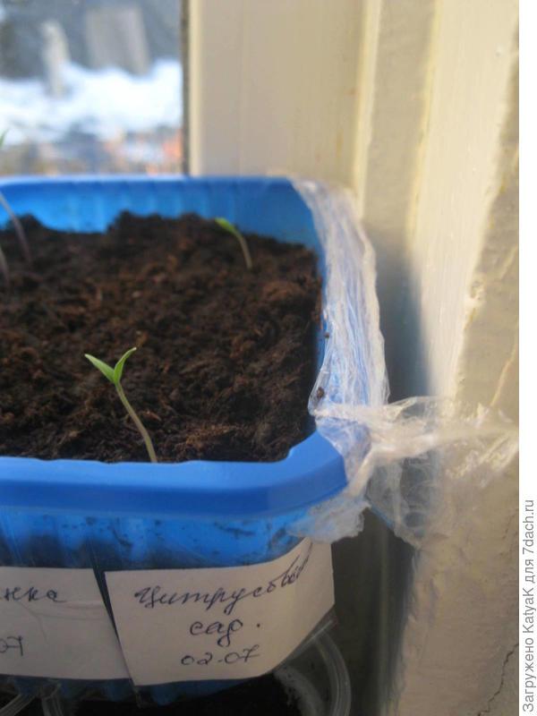 томат цитрусовый сад первые всходы