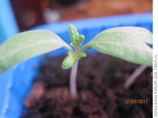 томат Неженка первые настоящие листики
