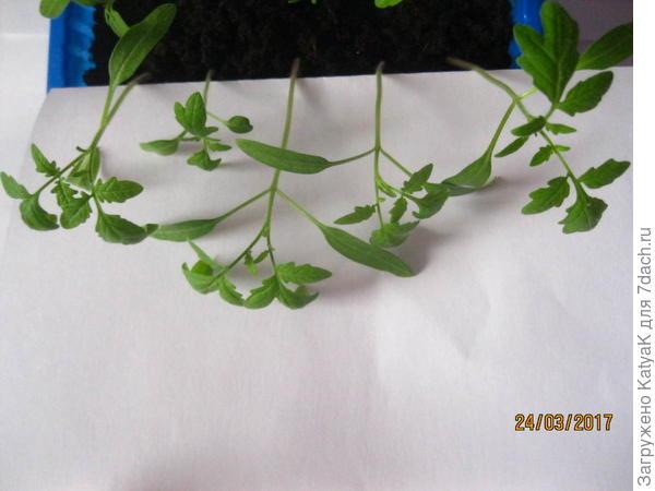 томат Неженка первые настоящие листочки
