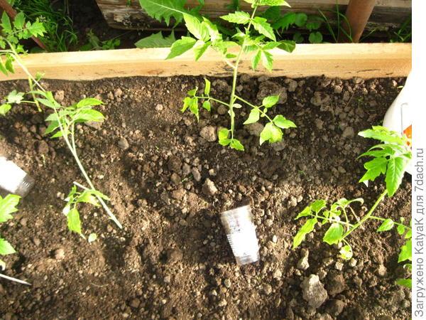 томат цитрусовый сад