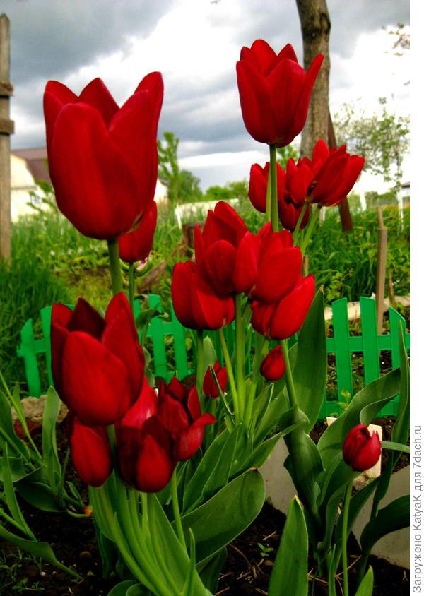 тюльпан букетного типа цветения
