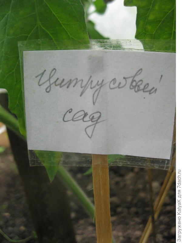 томат цитрусовый сад. цветение