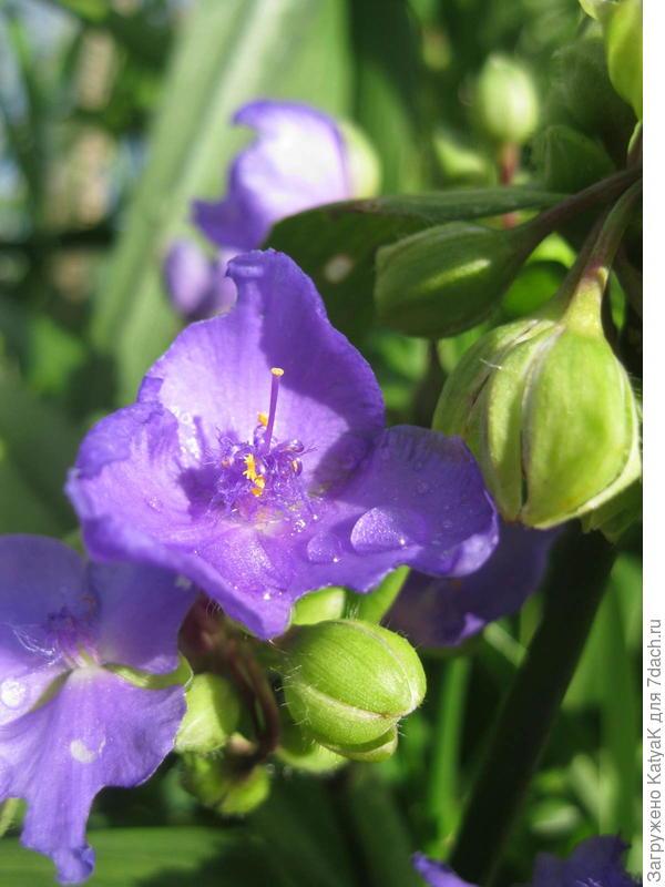 цветочки традесканции