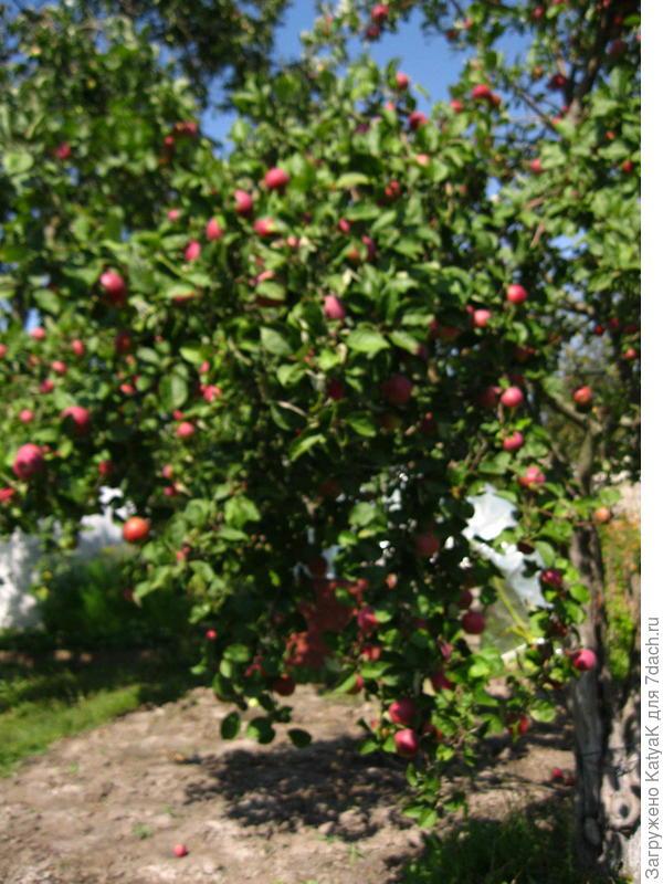 яблоки Память войну