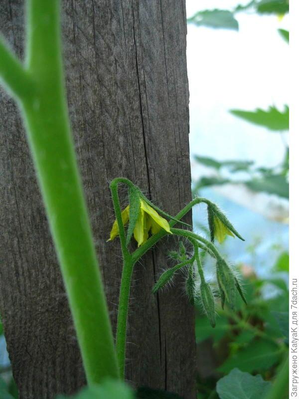 первый цветок появился 3 июня