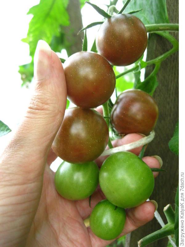 26 июля все томаты в теплице я обработала Орданом, поэтому кисть, что на фото ниже, я полностью сняла на дозаривание.