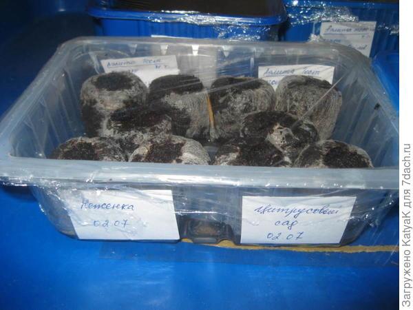 Мною было решено сажать 5 семян в торфяные таблетки, предложенные компанией Аэлита