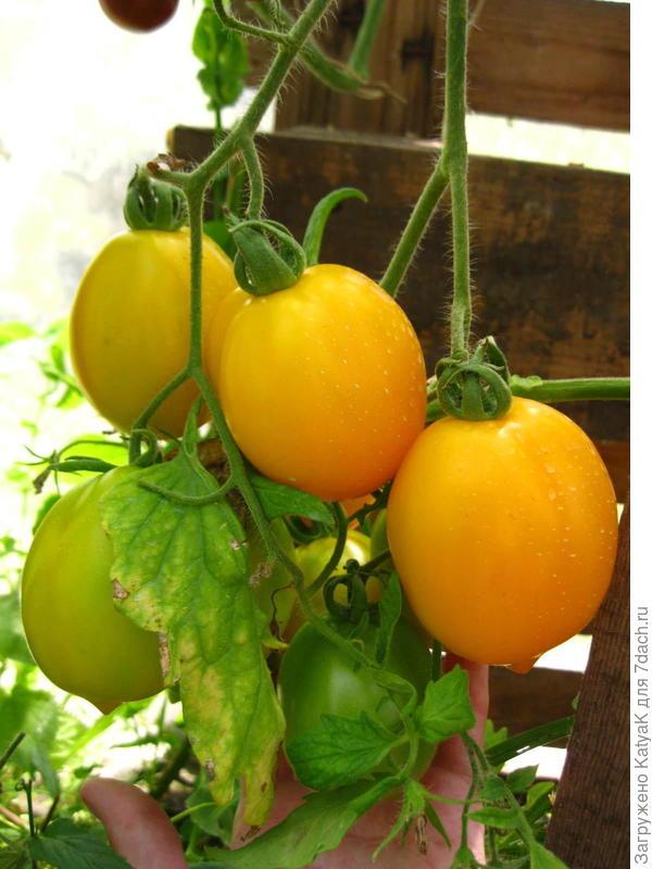 18 августа, сегодня, появились первые полностью дозревшие томаты