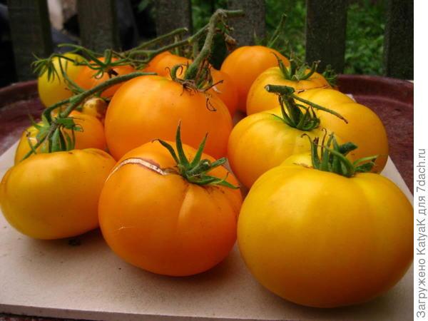 30 августа я сняла бОльшую часть урожая, томаты уже перезрели.