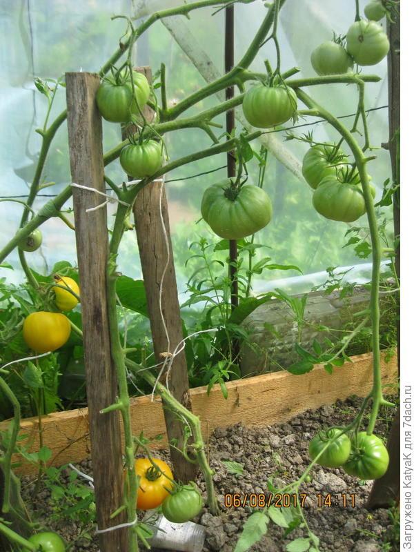 6 августа томаты Неженка созревают на кусте
