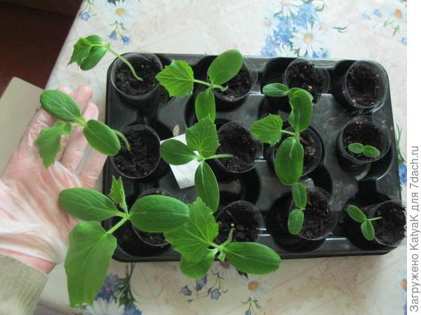 28 мая 11 росточков есть, позже проросло еще одно семечко, всхожесть 100%