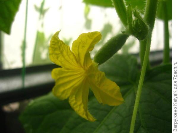 26 июня полностью раскрылся первый цветок с завязью.