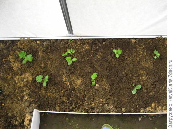2 июня я решила, что пора высаживать рассаду арбуза Сладкий бриллиант.  Место высадки — чудо теплица от компании Сибирский агроном