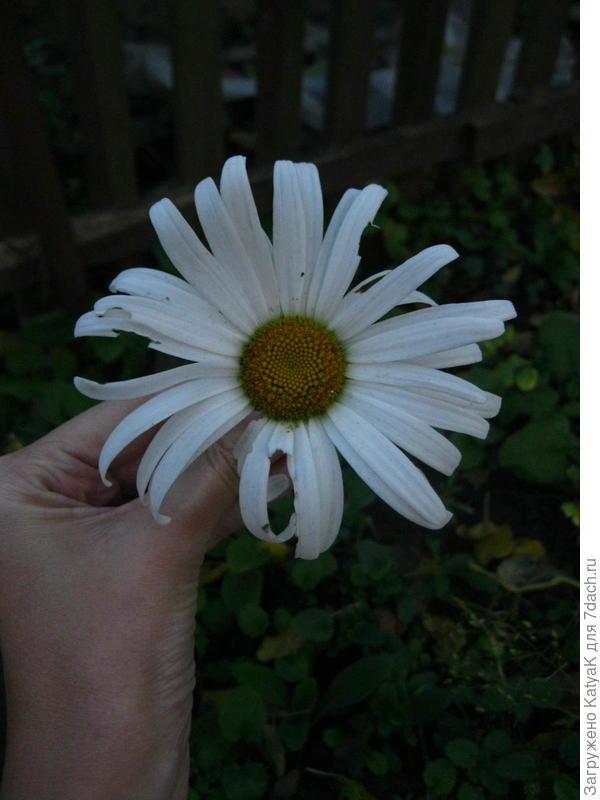 Ромашка Сильвер принцесс, многолетняя, повторно цветет, вся в бутонах
