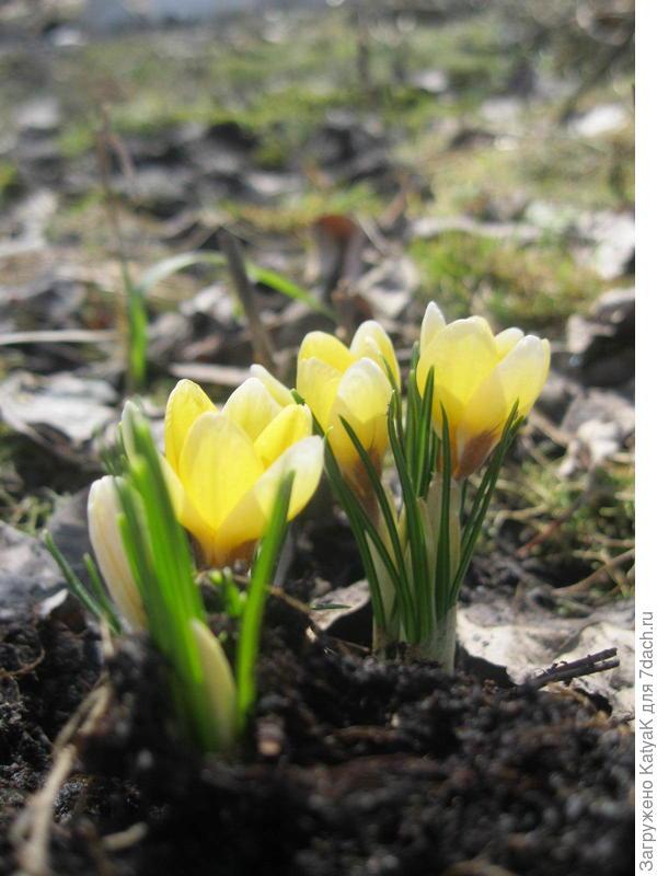 Первые цветы. Подарок на праздник, два дня назад на этом месте был сугроб