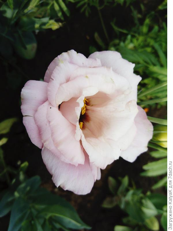 эхо розовая