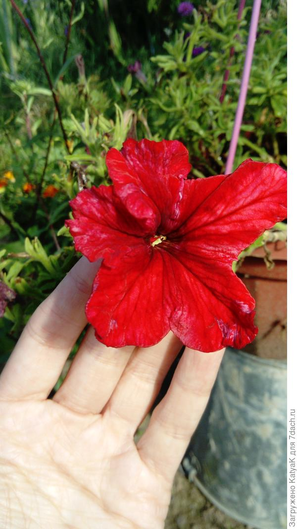 Комплементуния винно-красная F1 крупноцветковая
