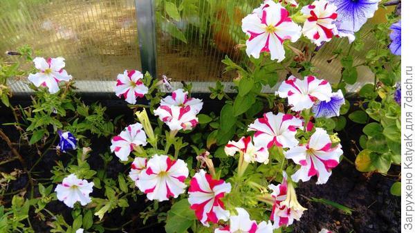 цветение август грунт