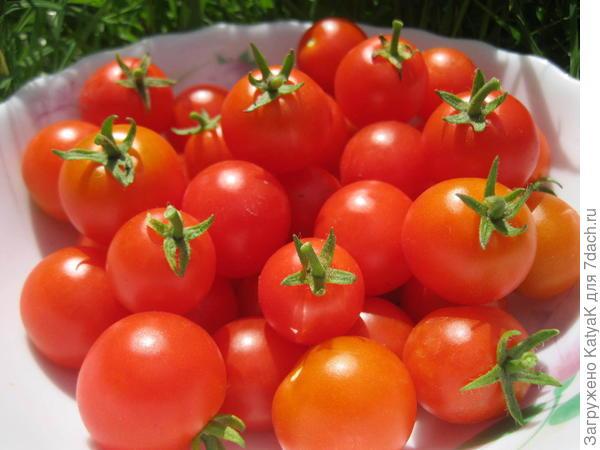 томат беби