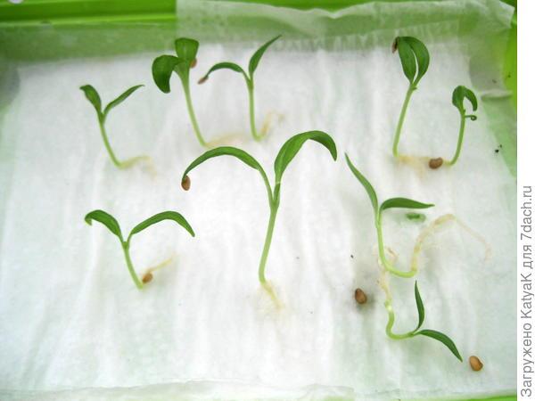рассказ прорастание семян