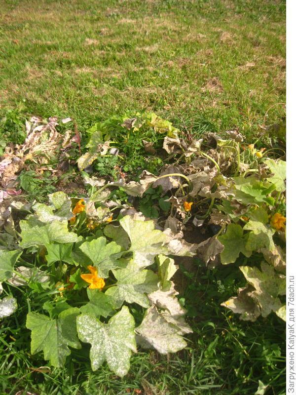 Патиссон 'Копейка' - урожайный, вкусный, красивый. Мои итоги