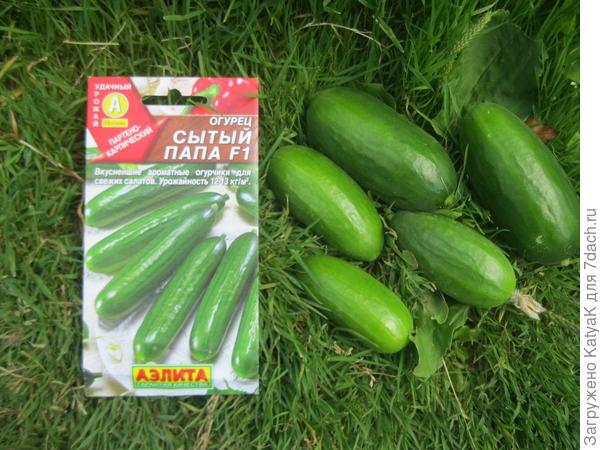 Огурец 'Сытый папа' F1 - кубастенькие, салатные зеленцы. Итоги