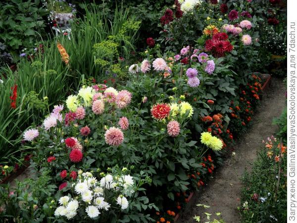 мой сад георгин