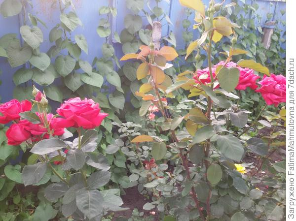 "Роза ""Red Queen"""