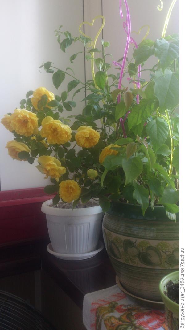 Просто вотреснула в горшок к бугенвиллии для фотосессии, но потом опять в вазу с водой, уж очень цветы красивые, ярко-желтые. И довольно крупные, правда быстро осыпаются и жутко колючие '