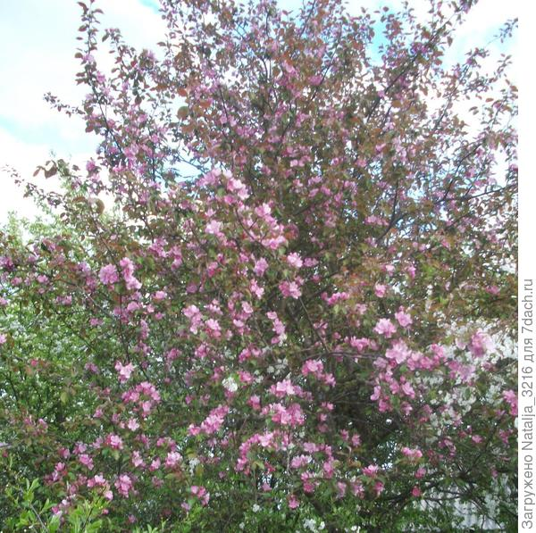 красноцветковая яблоня