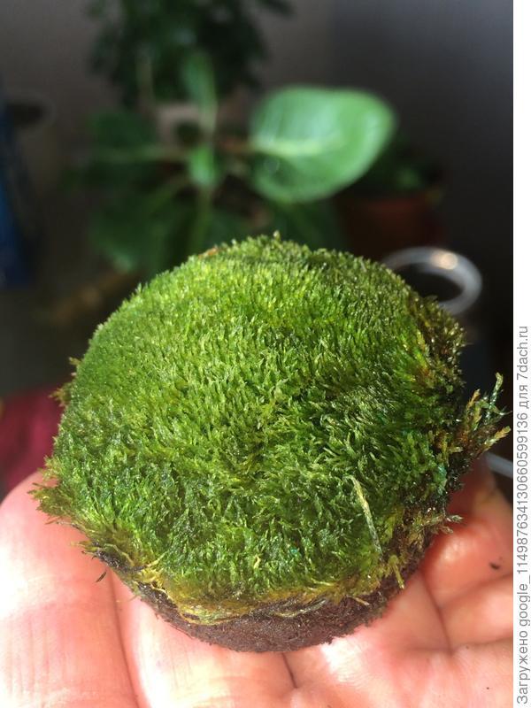 Стабилизированный в глицерине зел мох