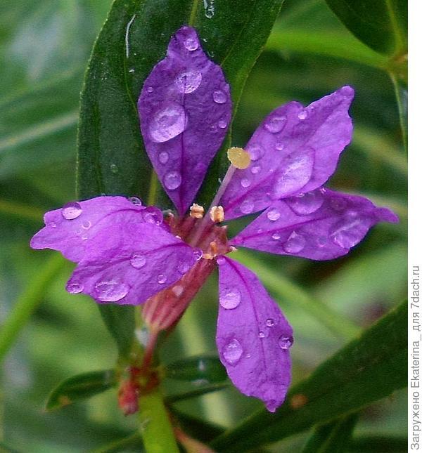 7-фиолетовый