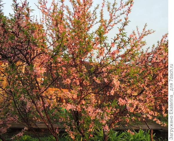 цветущий весной куст